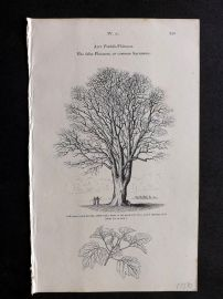 John Loudon 1838 Antique Botanical Tree Print. False Platanus, or Common Sycamore